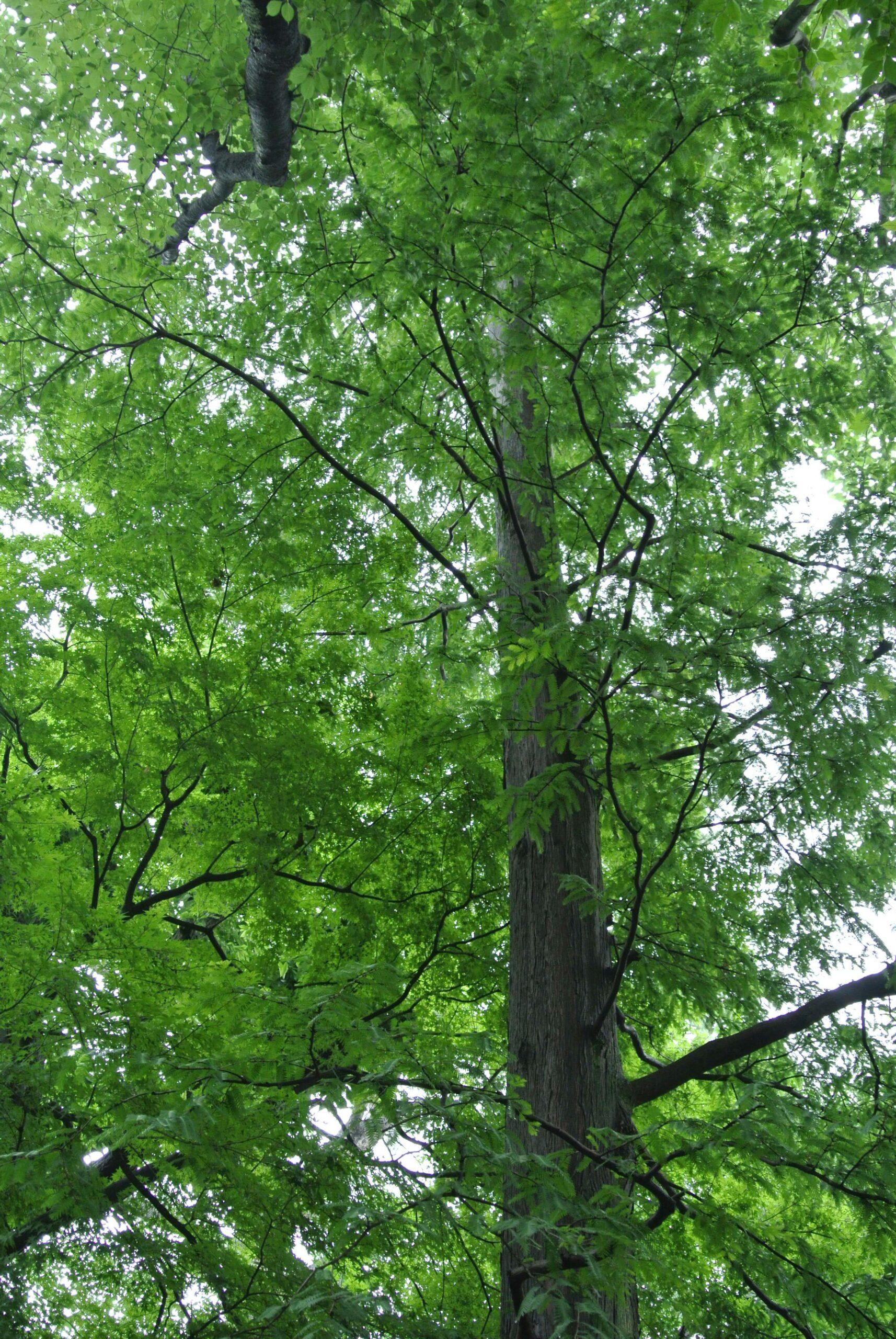 庭園の針葉樹